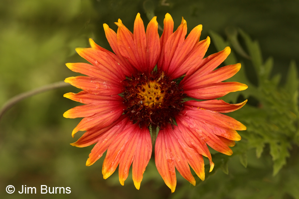 Indian Blanket, Texas