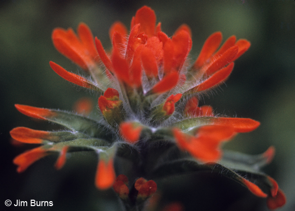 Indian Paintbrush, Washington