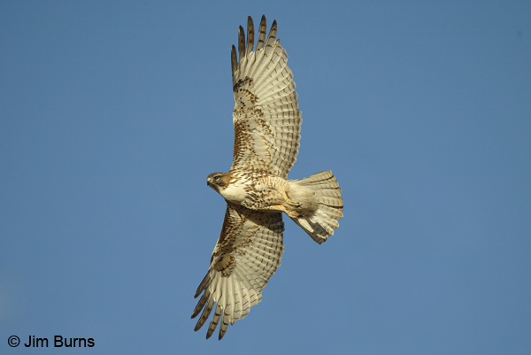 Red-tailed Hawk juvenile light morph western in flight