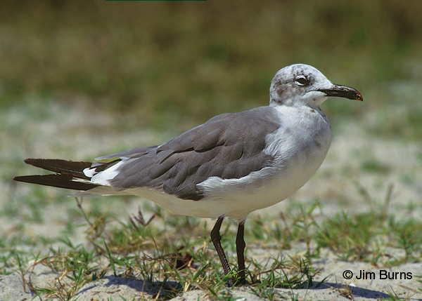 Laughing Gull adult winter