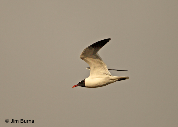 Laughing Gull in flight sunrise