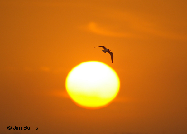 Laughing Gull on sunset
