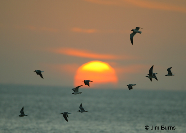 Laughing Gulls across sunset