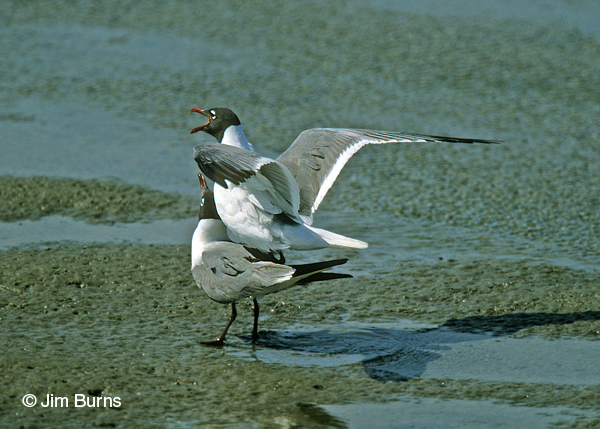 Laughing Gulls copulating