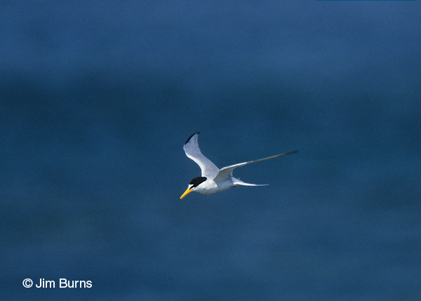 Least Tern adult in flight dorsal