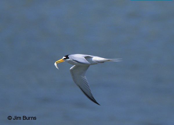 Least Tern adult in flight with fish
