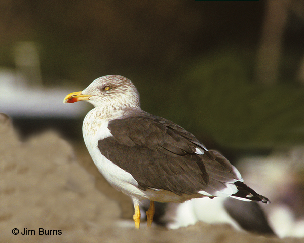 Lesser Black-backed Gull adult winter