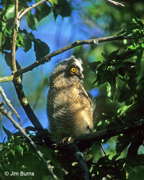 Long-eared Owl brancher