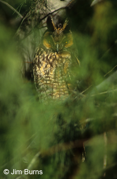 Long-eared Owl in greenery