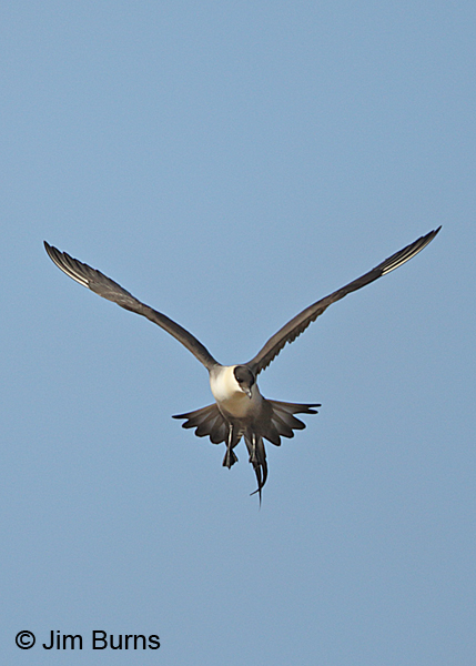 Long-tailed Jaeger kiting vertical