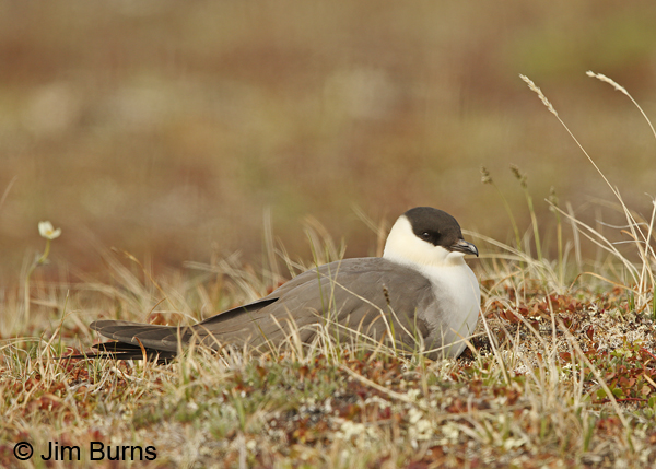 Long-tailed Jaeger on nest