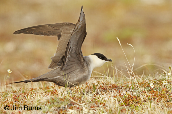 Long-tailed Jaeger wingstretch