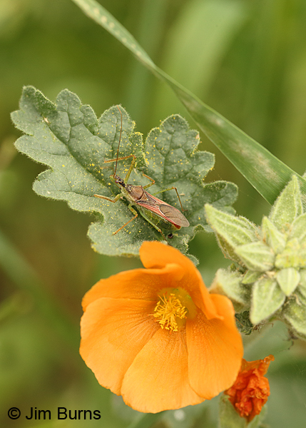 Longhorn Beetle on Globemallow, Arizona