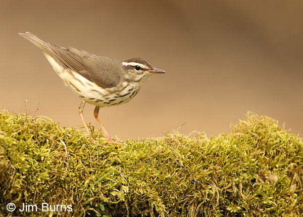 Louisiana Waterthrush on mossy log