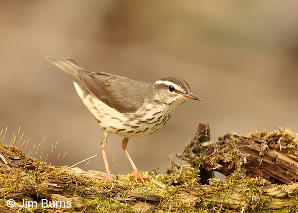 Louisiana Waterthrush pink legs