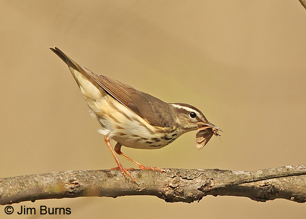 Louisiana Waterthrush with moth