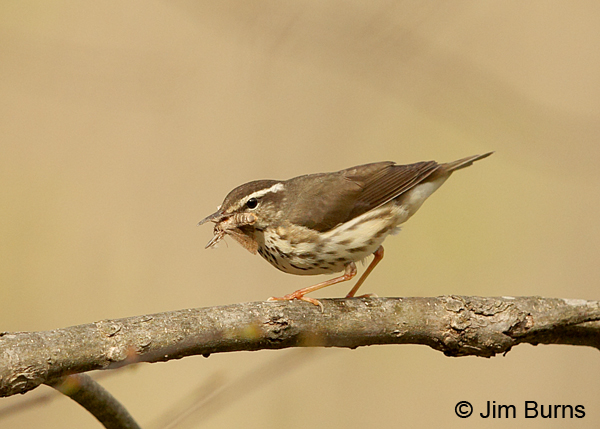 Louisiana Waterthrush with moth #2
