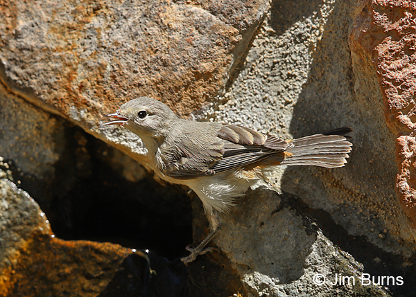 Lucy's Warbler juvenile