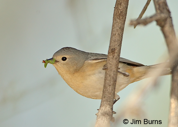 Lucy's Warbler male with insects for nestlings #2