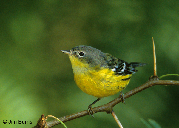 magnolia warbler fall - photo #2