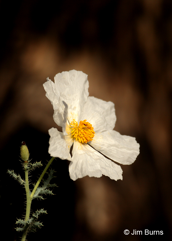 Matilija Poppy #2, Arizona