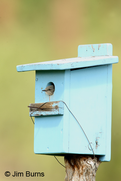 Mountain Bluebird female in blue bluebird box