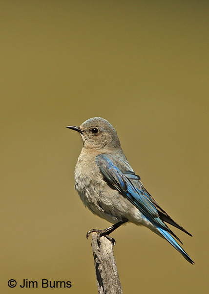 Mountain Bluebird female on fence post