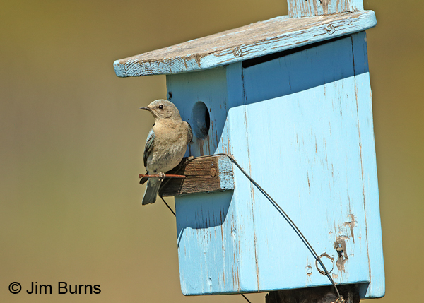 Mountain Bluebird female ventral at blue bluebird box