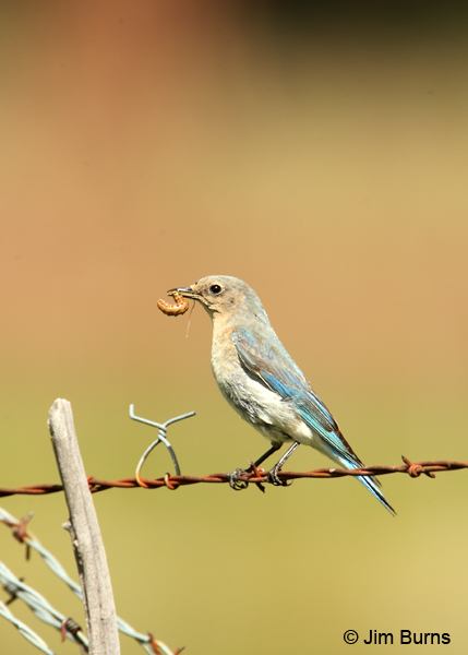 Mountain Bluebird female with caterpillar