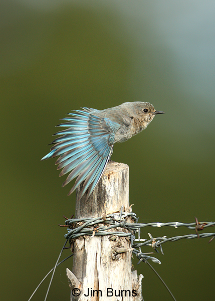 Mountain Bluebird female wingstretch