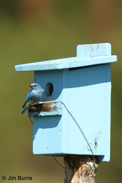 Mountain Bluebird male at blue bluebird box