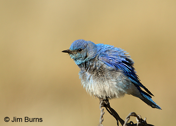 Mountain Bluebird male feathers fluffed out