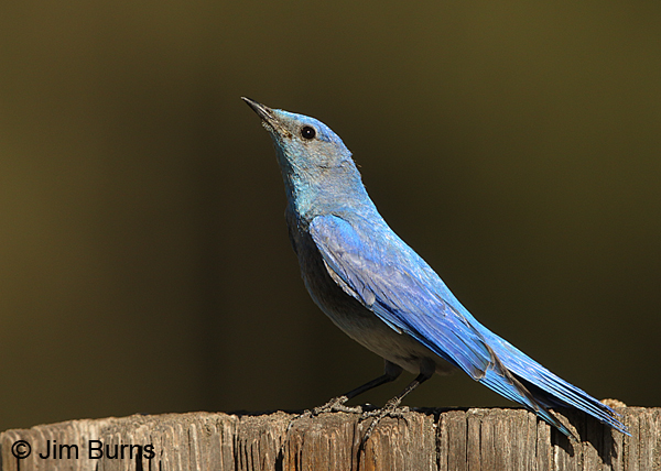 Mountain Bluebird male in precopulatory posture