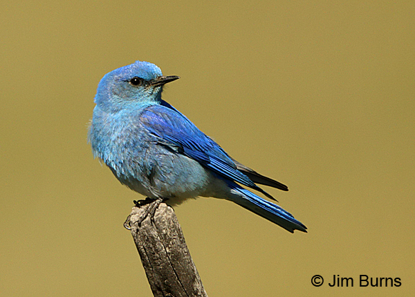 Mountain Bluebird male on post