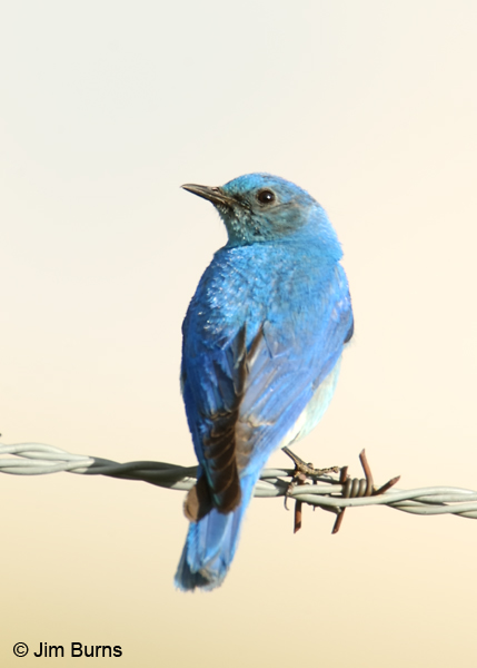 Mountain Bluebird male portrait on wire