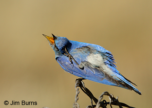 Mountain Bluebird male preening