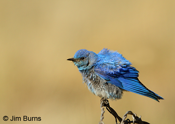 Mountain Bluebird male wingstretch