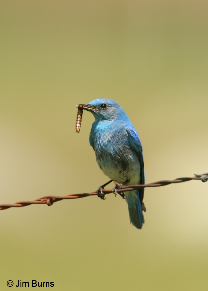 Mountain Bluebird male with caterpillar