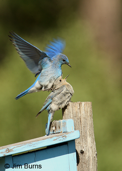 Mountain Bluebirds copulating