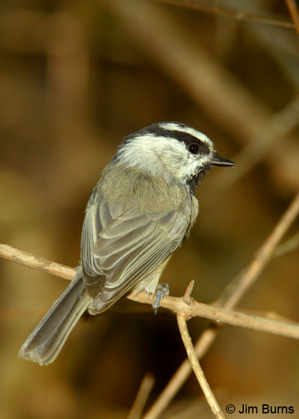 Mountain Chickadee dorsal