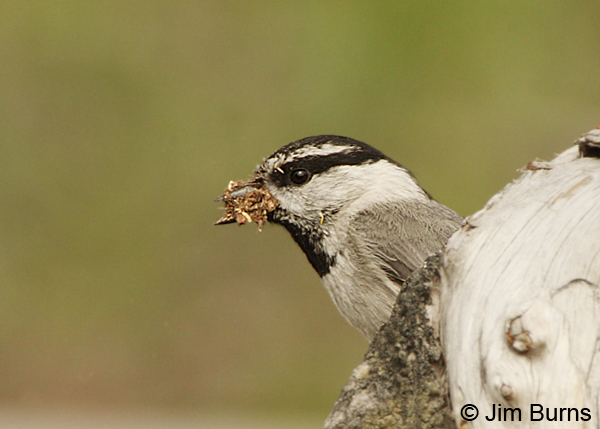 Mountain Chickadee with nesting material