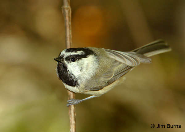 Mountain Chickadee on stem