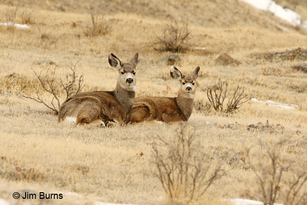 Mule Deer doe and yearling