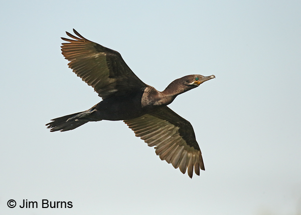 Neotropic Cormorant in flight