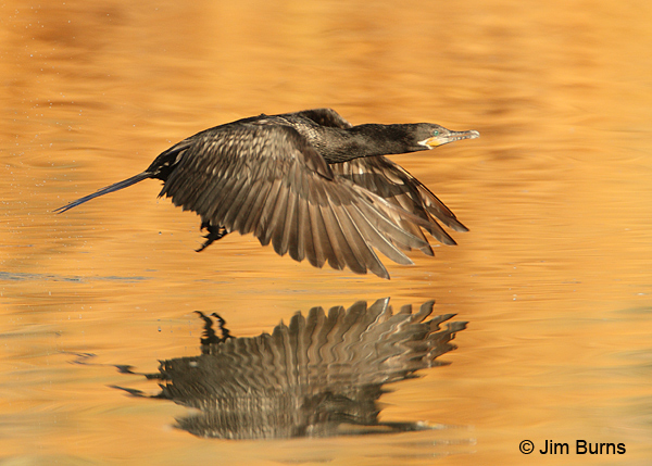 Neotropic Cormorant sunrise