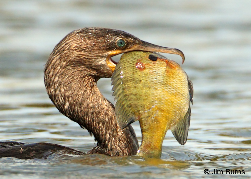 Neotropic Cormorant with Sunfish close-up