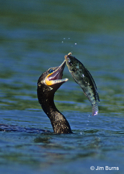 Neotropic Cormorant with Talapia
