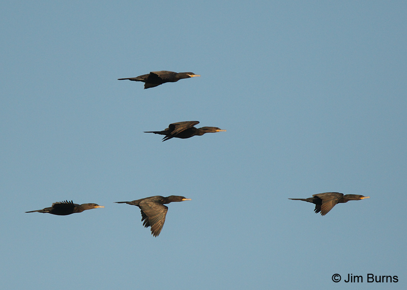Neotropic Cormorants in flight