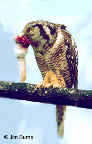 Northern Hawk Owl with rabbit foot