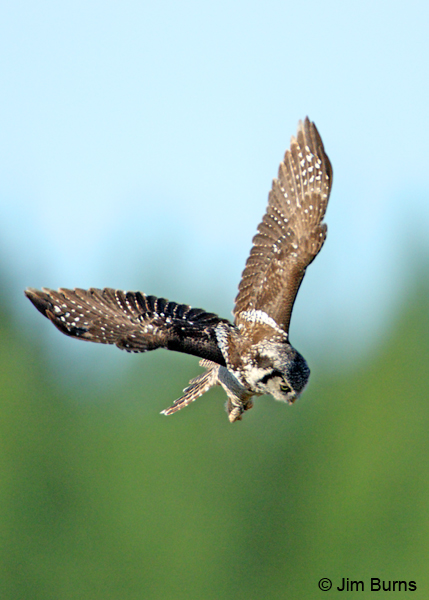 Northern Hawk Owl dropping on prey